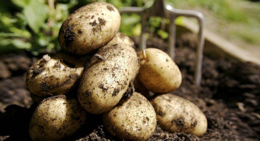 Сельхозорганизации Белоруссии завершили уборку картофеля
