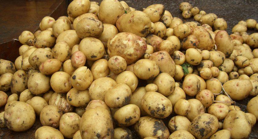 ВЧервенском районе «забыли» убрать неменее 700 тонн картофеля