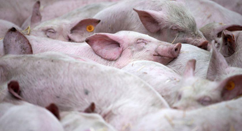 Беларусь ограничила ввоз свинины из государства Украины из-за чумы свиней