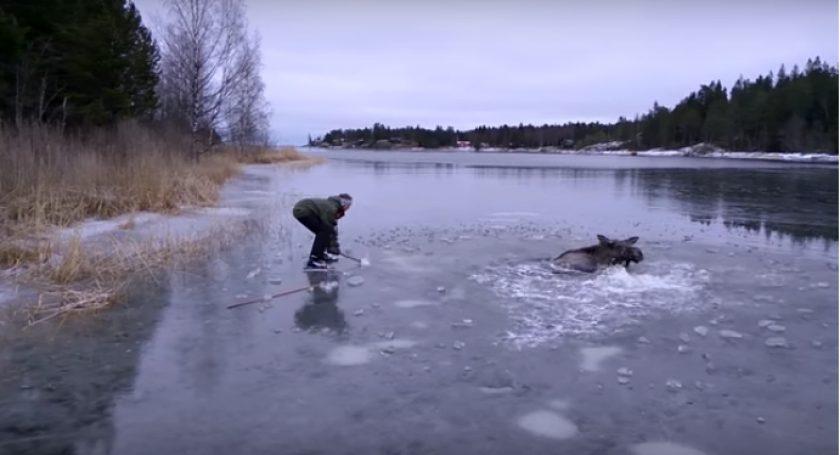 ВШвеции провалившегося под лед лося спасли здешние граждане