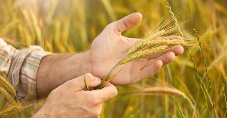 колос пшеницы, колосья в руках