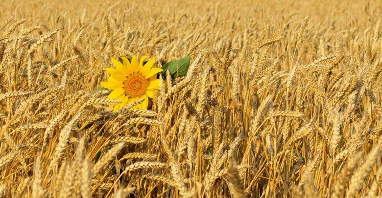зерно, поле