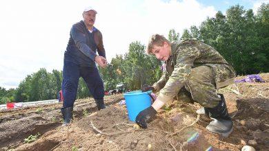 Лукашенко убирает картофель