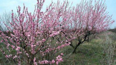 Зацвели персиковые деревья