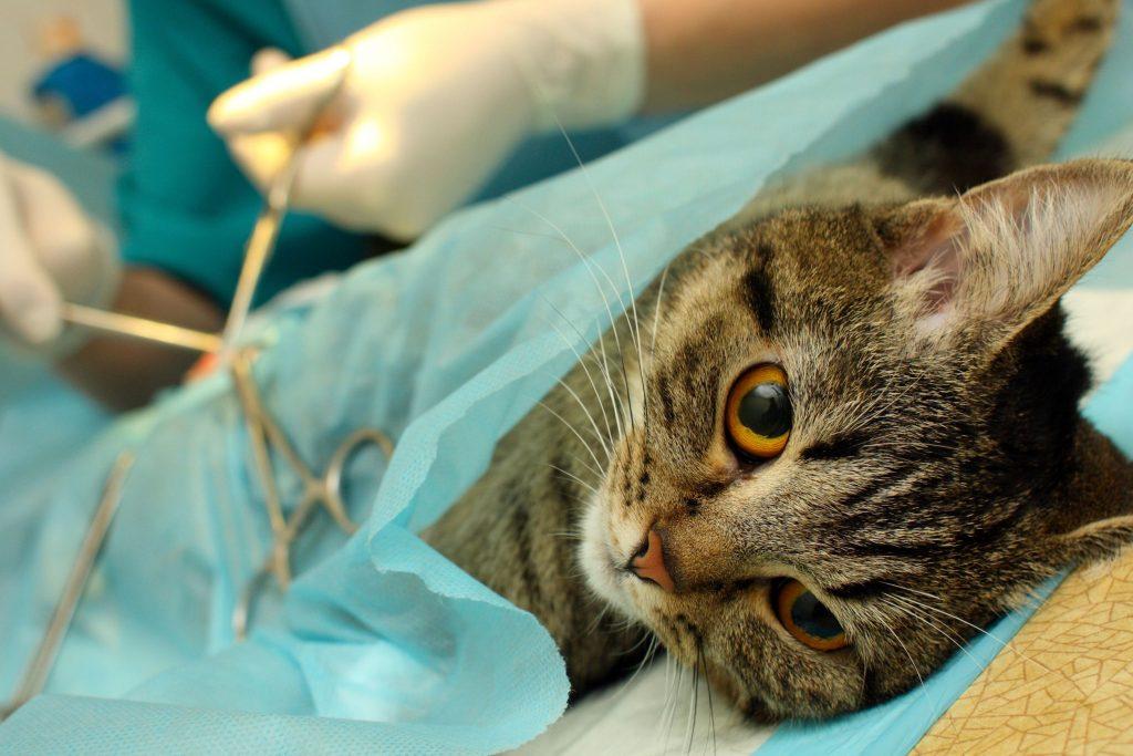 Врач стерилизует кошку