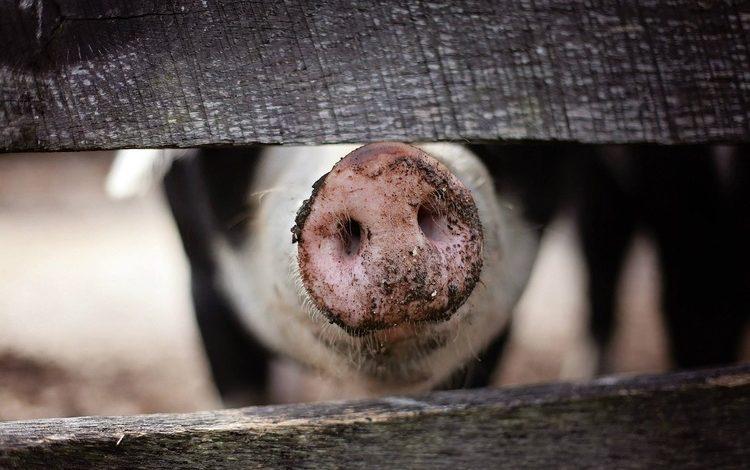 Пятачок свиньи на фоне забора