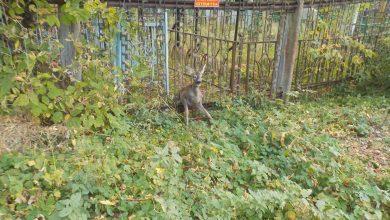 Photo of В Бобруйске спасли застрявшую в заборе косулю