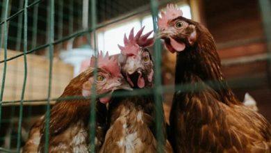 Photo of Беларусь ограничивает ввоз птицы из Краснодарского края из-за птичьего гриппа