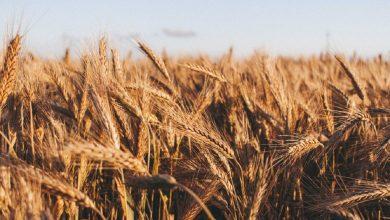 Photo of Беларусь временно запретила вывоз пшеницы, ржи, кукурузы и гречихи